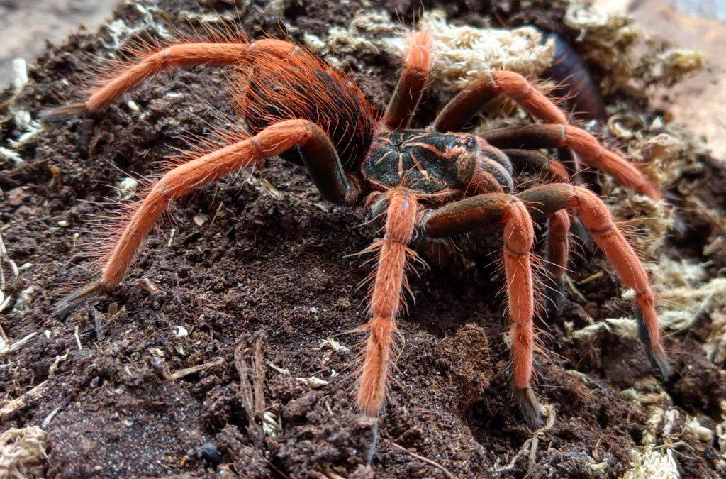 Vogelspinnen-Bodenbewohner