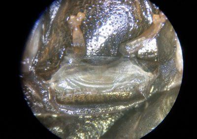 Dolichothele exilis