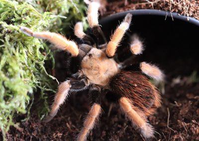 Aphonopelma bicoloratum