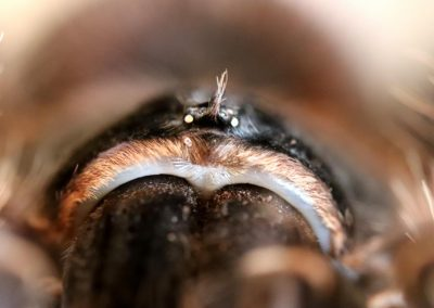 Augenhügel (Lasiodora parahybana)