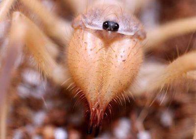 Galeodes sp.