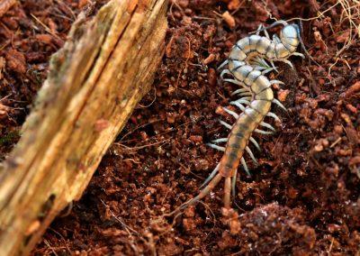 Scolopendra morsitans-blue legs