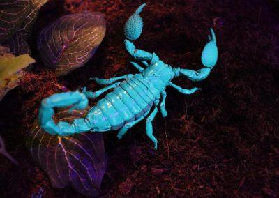 Pandinus imperator unter UV- Licht